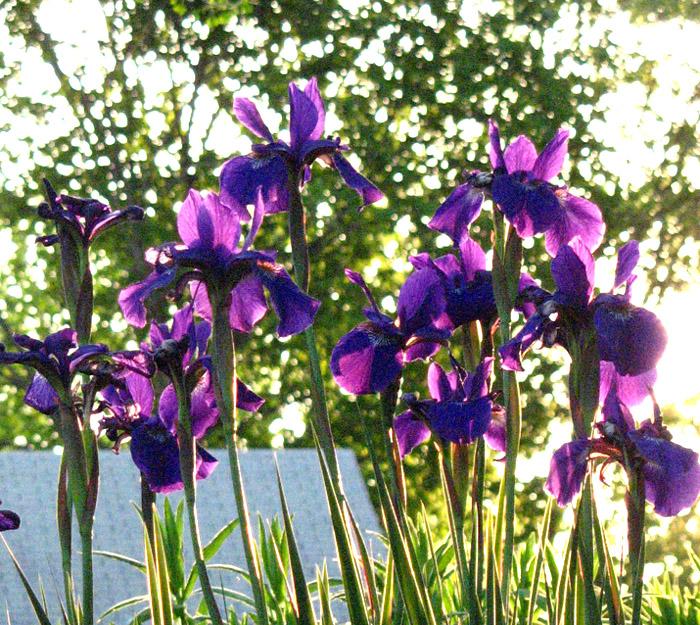 iris2-sweetmarimari